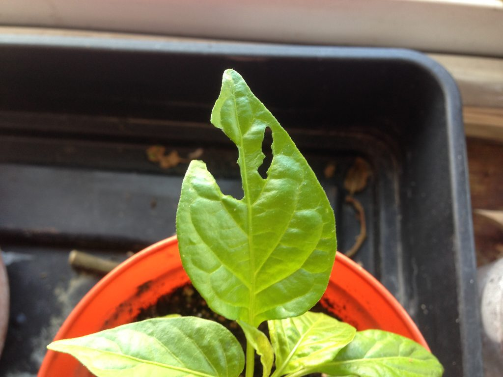 Damaged chilli pepper leaf