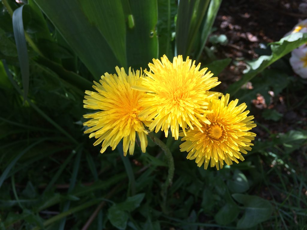 The key ingredient of Dandelion Wine