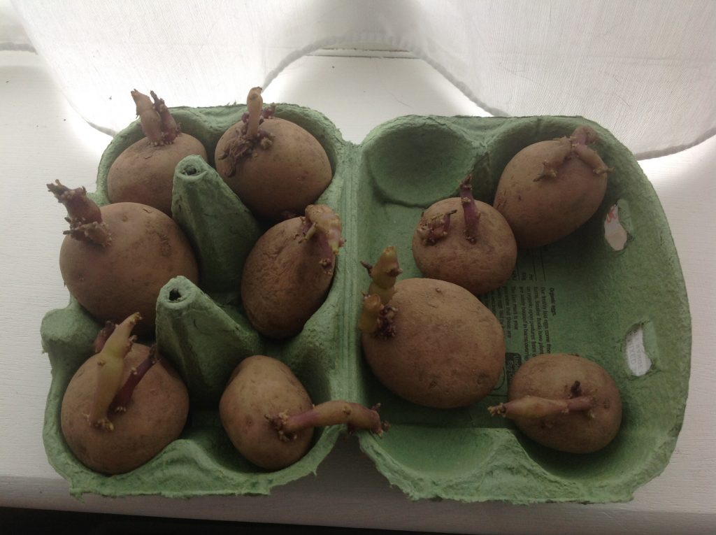 chitted potatoes