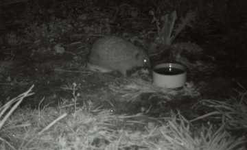 Hedgehog night shot